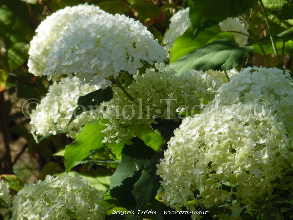 hydrangea arborescens 39 annabelle 39 vivaio borgioli taddei firenze. Black Bedroom Furniture Sets. Home Design Ideas