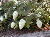 Hydrangea quercifolia 39 harmony 39 vivaio borgioli taddei for Ortensia quercifolia