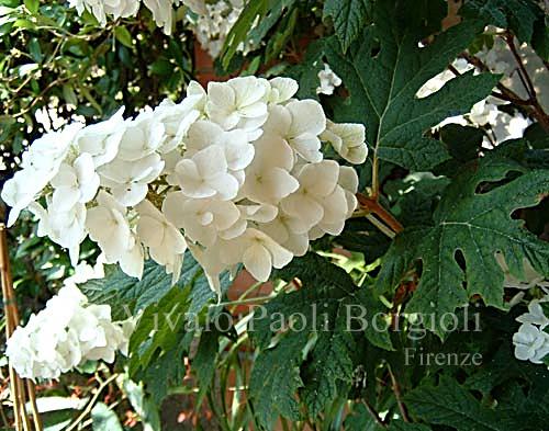 Hydrangea quercifolia 39 snow queen 39 vivaio borgioli for Ortensia quercifolia