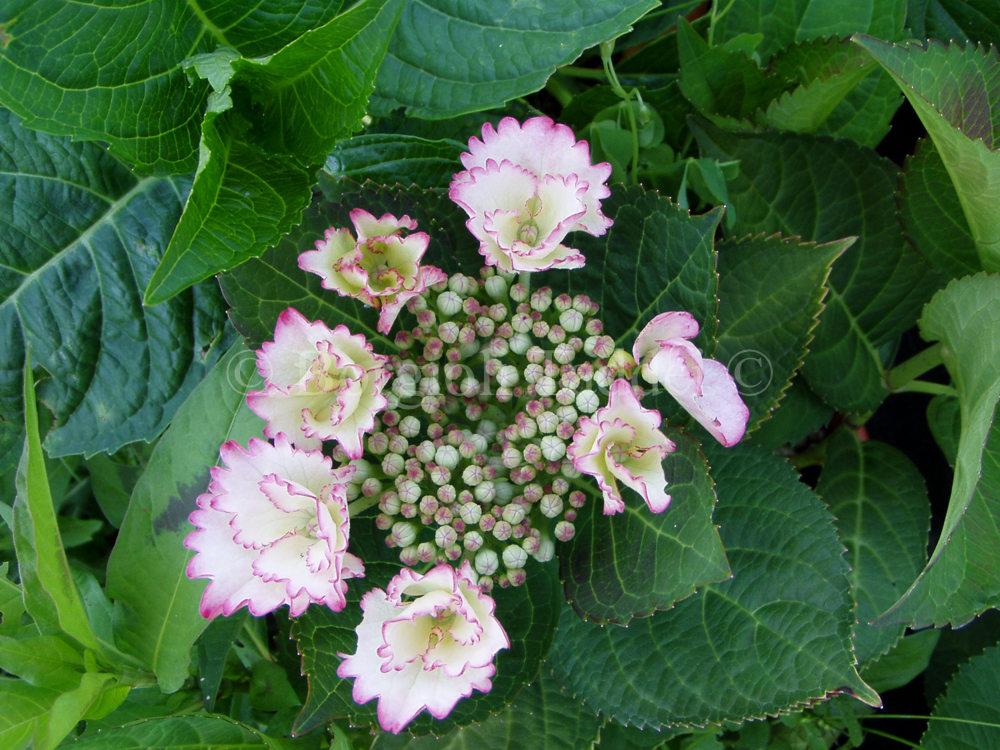 Vivaio Margine Rosso : Hydrangea macrophylla love you kiss vivaio borgioli taddei firenze