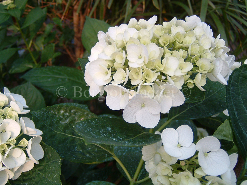 hydrangea macrophylla 39 holibel 39 vivaio borgioli taddei. Black Bedroom Furniture Sets. Home Design Ideas