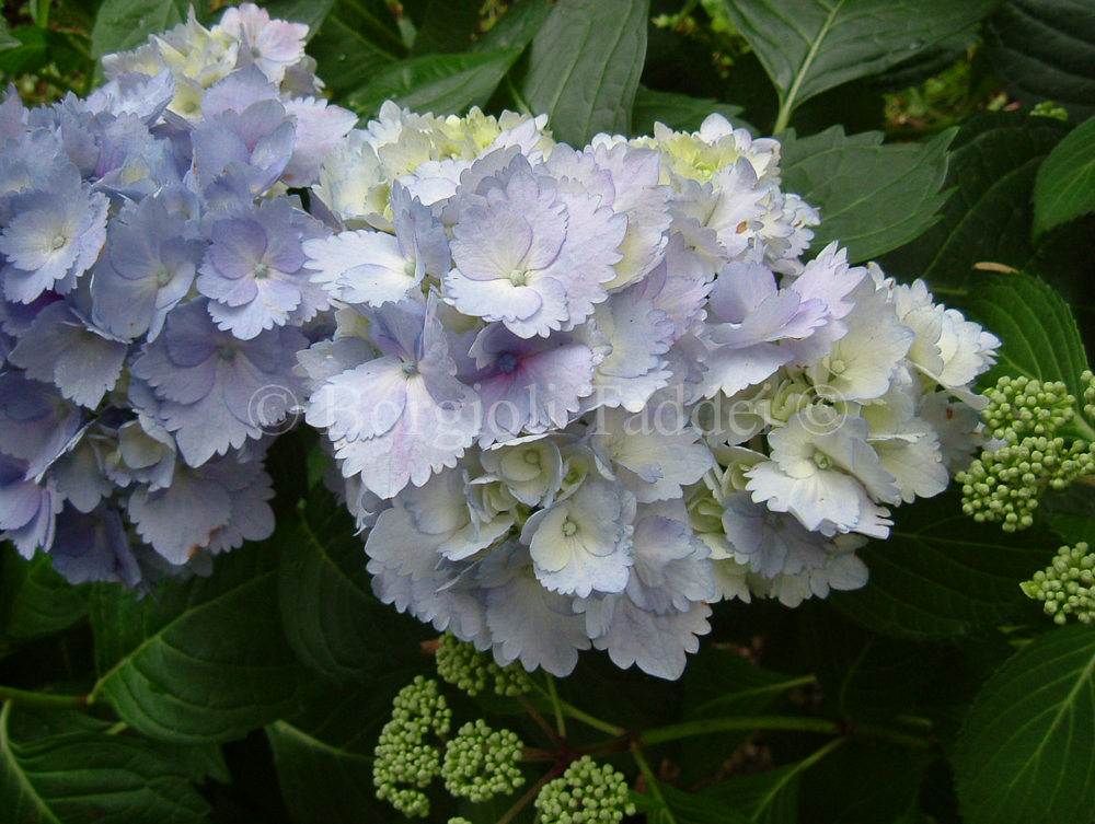 hydrangea macrophylla 39 la marne 39 vivaio borgioli taddei firenze. Black Bedroom Furniture Sets. Home Design Ideas
