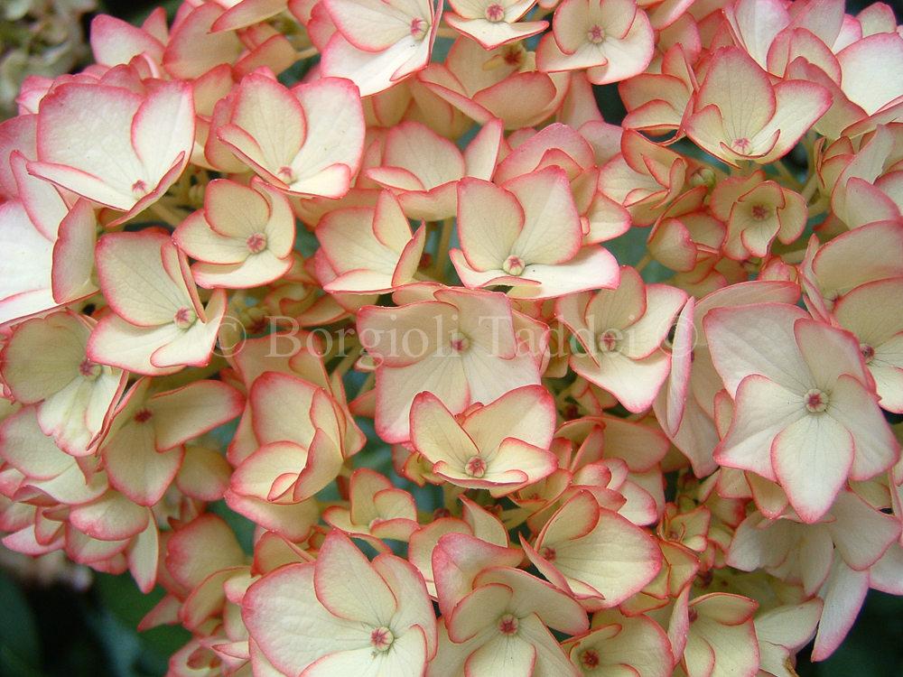 Vivaio Margine Rosso : Hydrangea macrophylla mirai vivaio borgioli taddei firenze