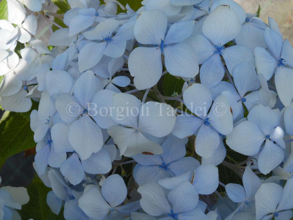 Vivaio Margine Rosso : Hydrangea macrophylla vivaio borgioli taddei firenze