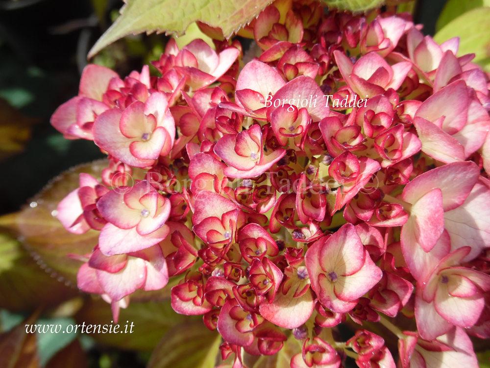 Vivaio Margine Rosso : Hydrangea macrophylla ripple vivaio borgioli taddei firenze