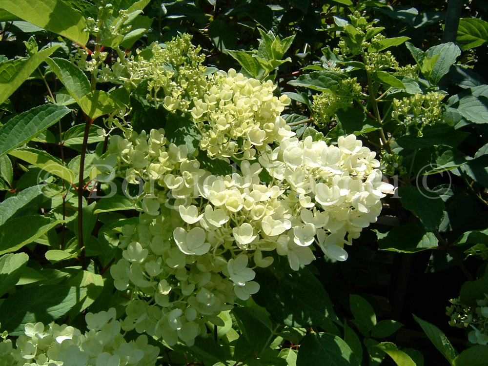 hydrangea paniculata grandiflora 39 vivaio borgioli. Black Bedroom Furniture Sets. Home Design Ideas