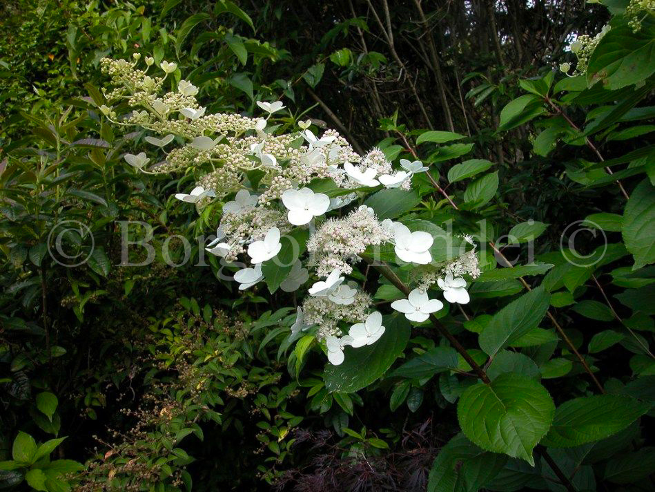 hydrangea paniculata kyushu 39 vivaio borgioli taddei firenze. Black Bedroom Furniture Sets. Home Design Ideas