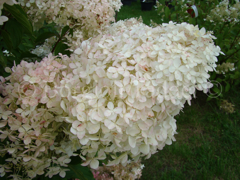hydrangea paniculata phantom 39 vivaio borgioli taddei firenze. Black Bedroom Furniture Sets. Home Design Ideas