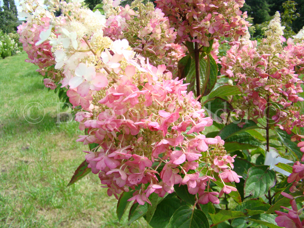 Hydrangea paniculata u2018Pinky winkyu0026#39; - Vivaio Borgioli Taddei Firenze
