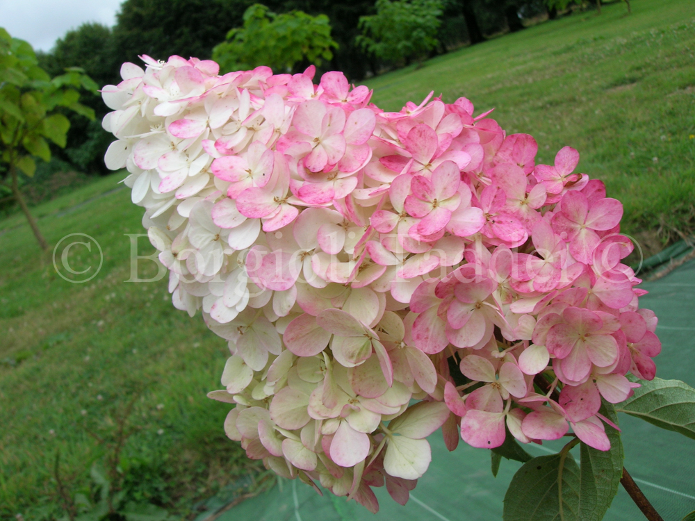 hydrangea paniculata vanille fraise 39 vivaio borgioli. Black Bedroom Furniture Sets. Home Design Ideas