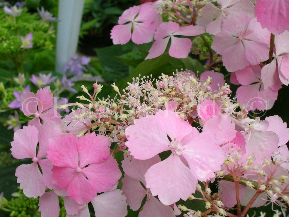 Hydrangea serrata 39 graciosa 39 vivaio borgioli taddei firenze for Un rampicante fiorifero
