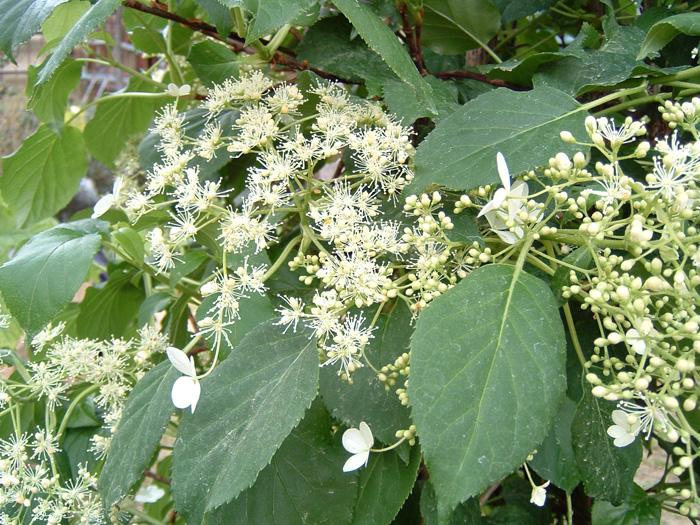 Pin ortensia rampicante hydrangea petiolaris on pinterest - Ortensia rampicante petiolaris ...